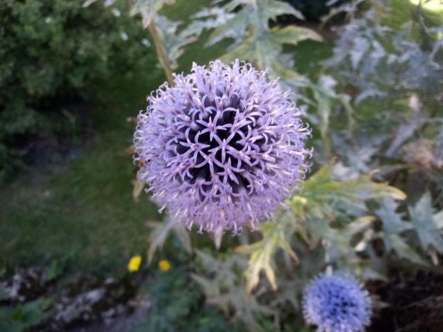 photo of a flower looking like a purple ball in the garden