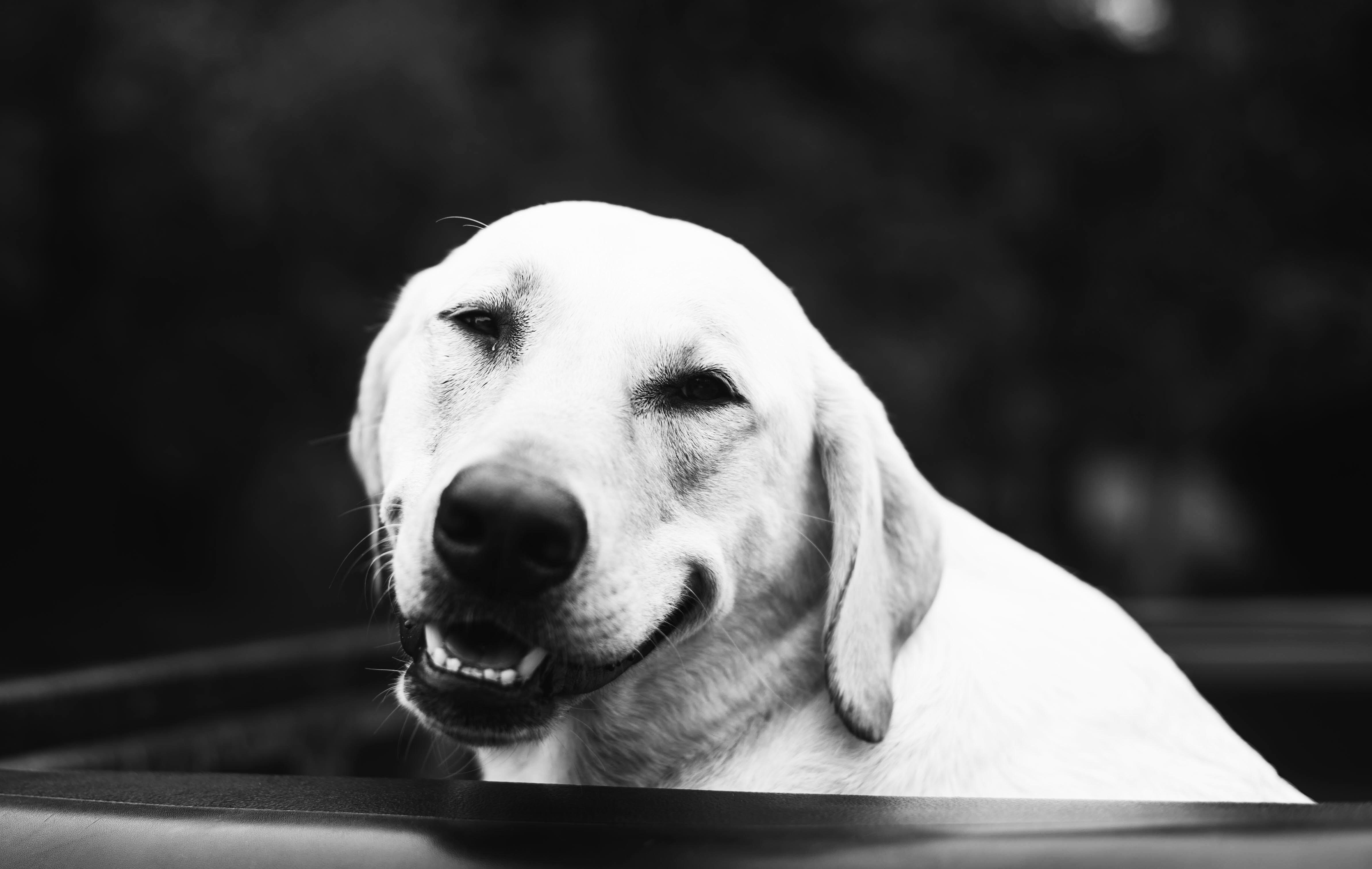 adult yellow Labrador retriever inside black plastic basin