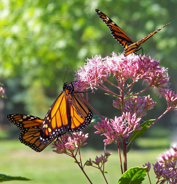 butterflies-on-flowers