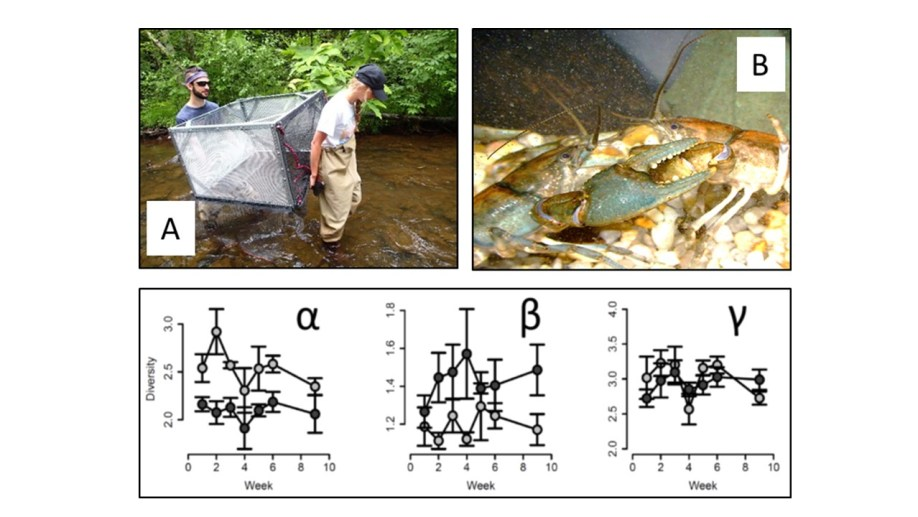 """Figure 3 (A) Undergrad researchers use """"Ultimate Sampler2000"""", a custom built quantitative crayfish sampler, to explore host density and symbiont dynamics in a southern Appalachian stream. (B) Worms are transmitted while hosts fight for shelter in experimental artificial stream channels. (Bottom) Different multi-scale patterns of symbiont diversity under high (black) and low (grey) host density in replicated artificial streams. High host density facilitates species-specific host selection, reducing average symbiont diversity on each host (alpha), and increasing variation in symbiont composition among hosts (beta)."""