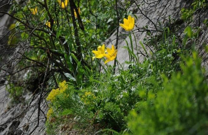 laleaua galbena rezervatia naturala cazanele dunarii