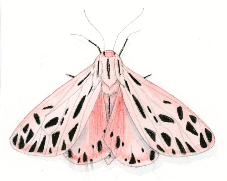 Arge Tiger Moth watercolor