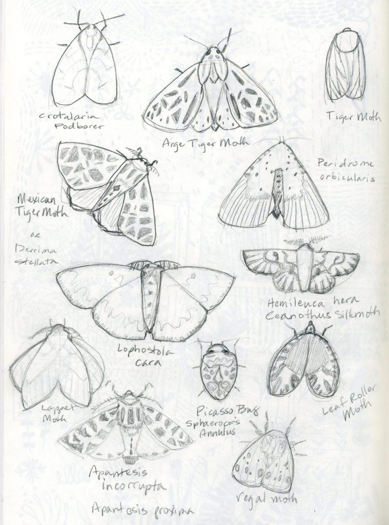 Moth sketches