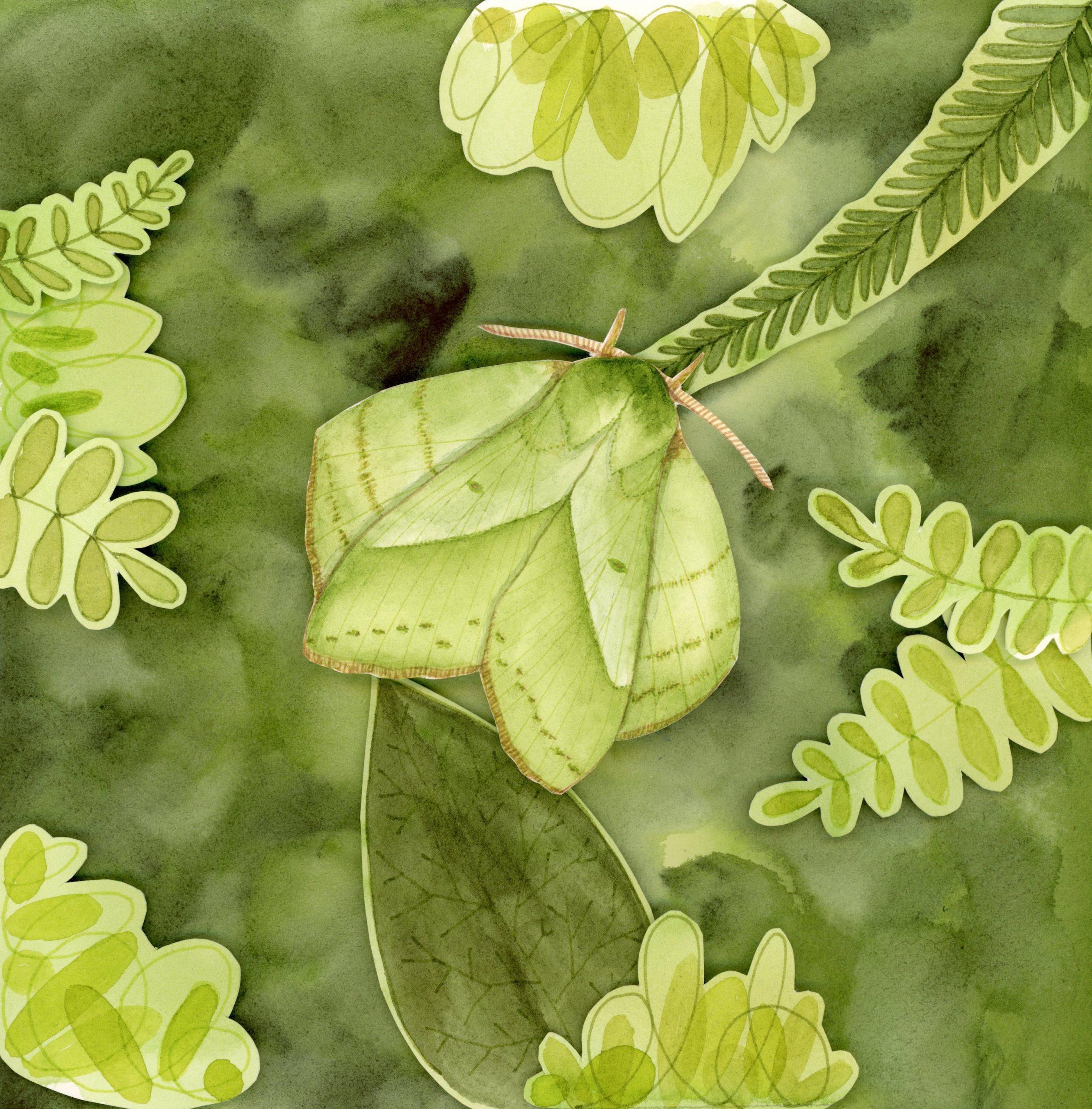 Lappet moth shadowbox 3D watercolor