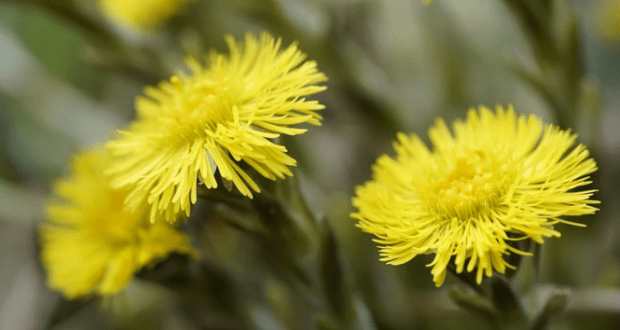 10 апреля – день святого Иллариона. Мать-и-мачеха