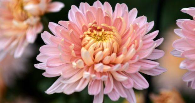 """Королева Бала хризантем-2020 в Никитском ботаническом - сорт """"Предрассветный Аю-Даг"""""""