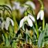 В преддверии 8 Марта экологи призывают крымчан не покупать первоцветы