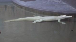 An albino alligator