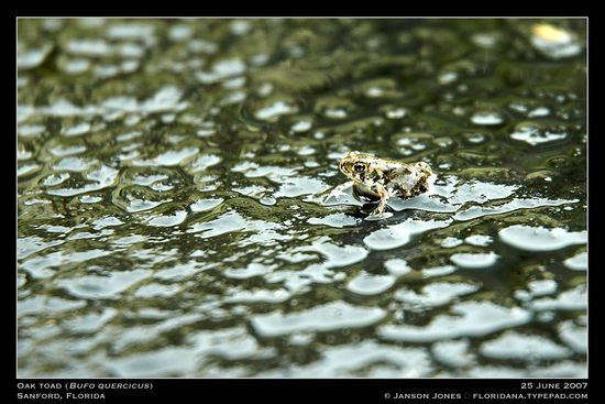 oak-toad-from-floridan-alaskiana