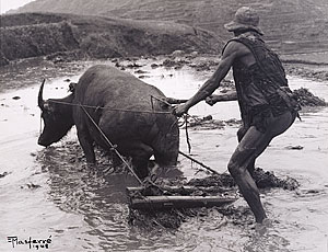 carabao-plowing-rice-field