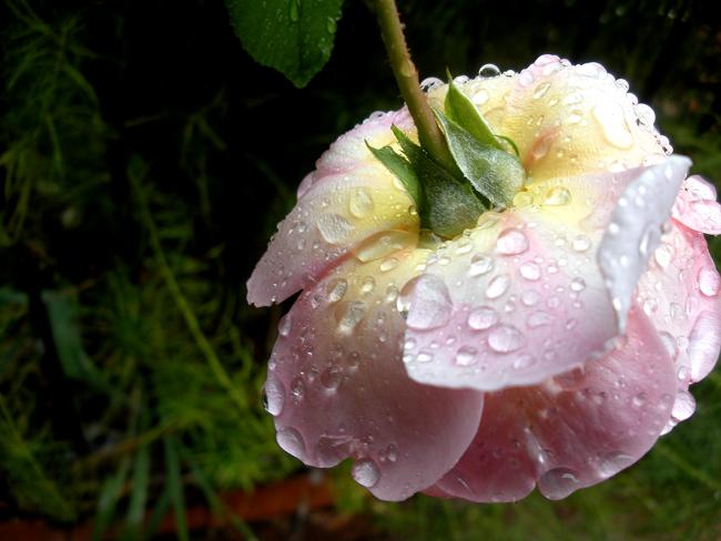 Reya's Jilted Rose