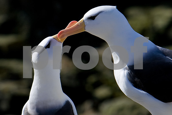 Black-browed Albatross showing some love on New Island in the Falklands.
