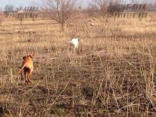 палевый пойнтер на весенней охоте-min