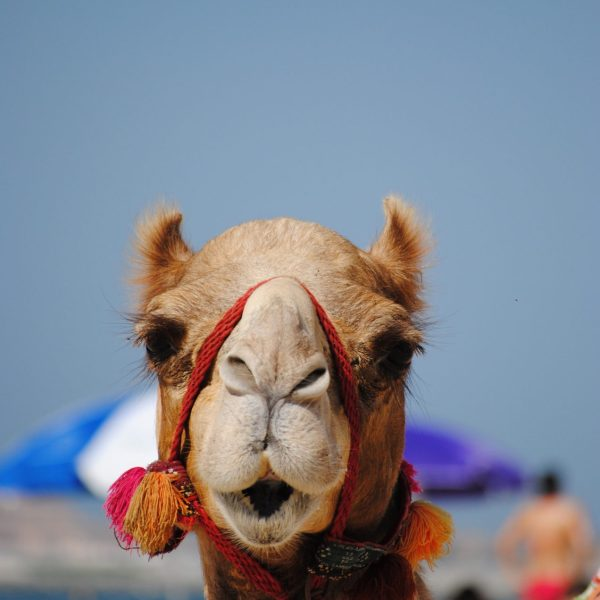 beach-camel-dubai-mammal-close-up-head-pointers-travel