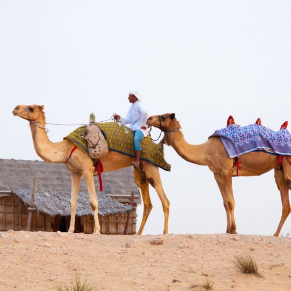 landscape-desert-camel-dubai-mammal-camels-pointers-travel