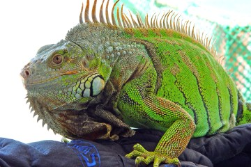 Deerfield Beach, Pompano Beach Lauderdale-by-the-Sea and Lighthouse Point have been seeing more iguanas lately. Picture courtesy-Wikipedia