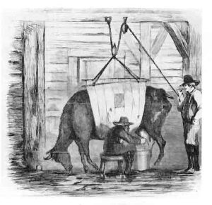 The distillery dairy system was often harmful to both cow and consumer.