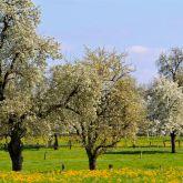 Poiriers en fleurs - crédit photo : Gérard Houdou