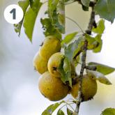 Pears of Plant de Blanc