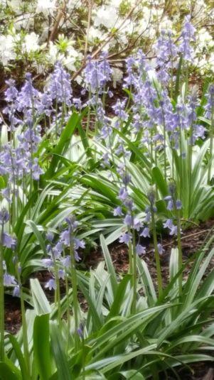 Botanicals Bluebell Woods