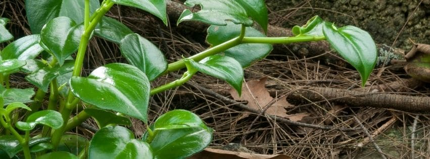 Plante Philodendron scandens