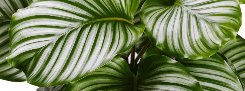 Calathea Amabilis