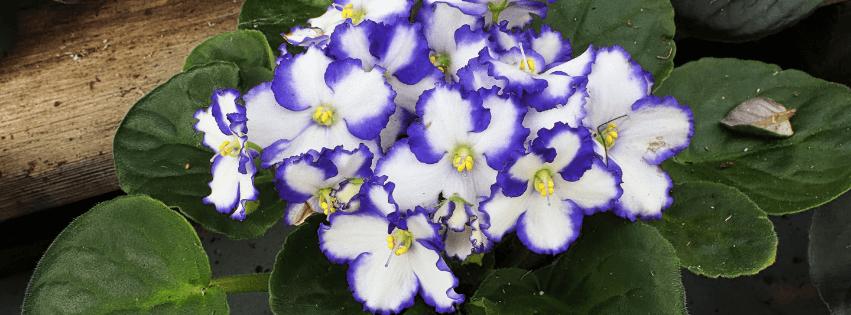 Plante Saintpaulia