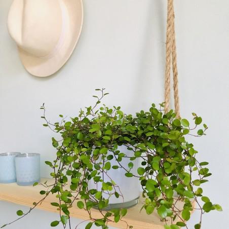 Muehlenbeckia en pot en intérieur