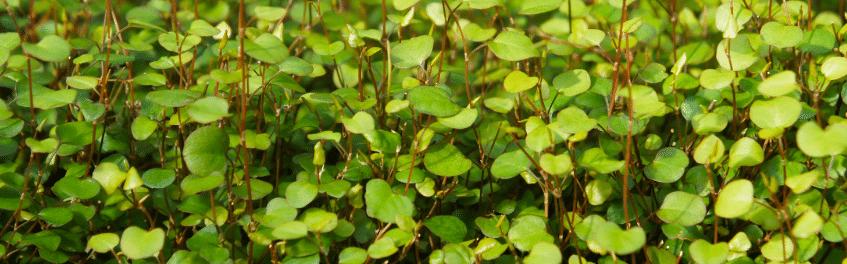 Ravissant feuillage du Muehlenbeckia