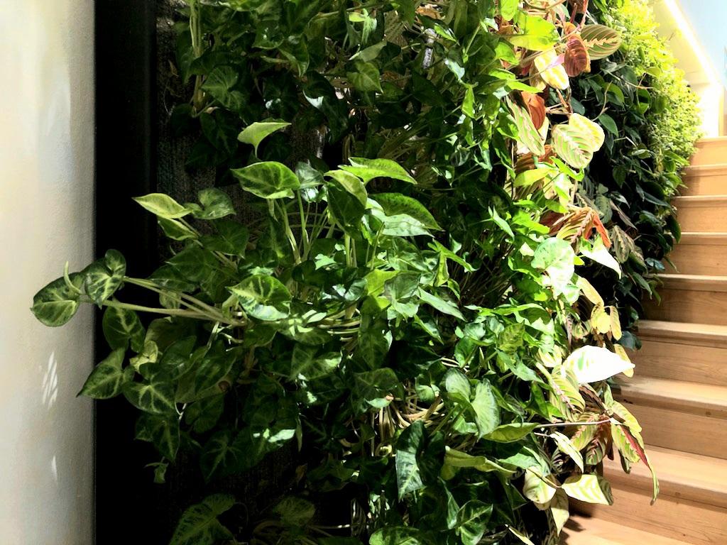 Image d'un Syngonium sur un mur végétal