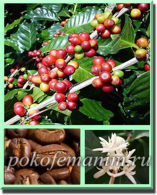 Где и как растет кофе