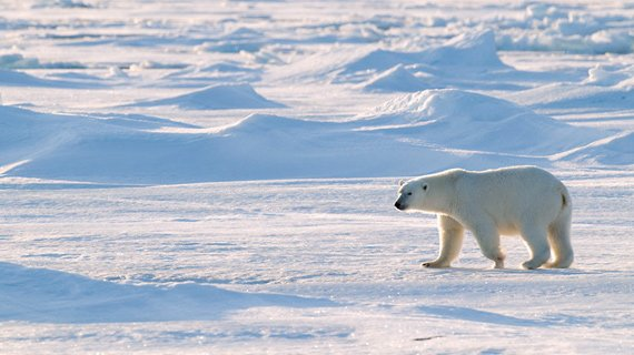 Greenland Shark Eat Polar Bear • PolarBearFacts.net