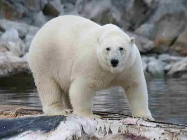 Do Polar Bears Eat Dolphins?