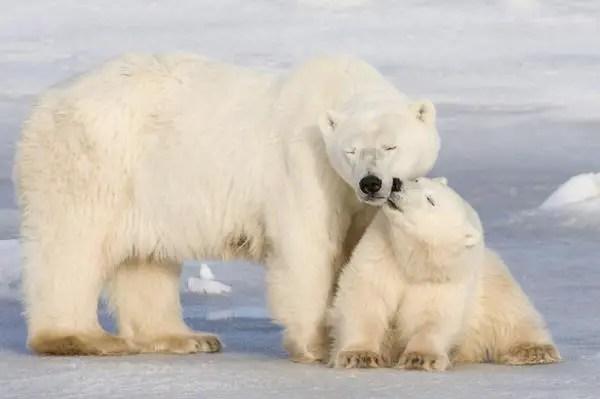 Are Polar Bears Endangered?   Why are Polar Bears Endangered?