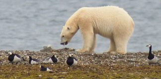 do polar bears and penguins live in the same place