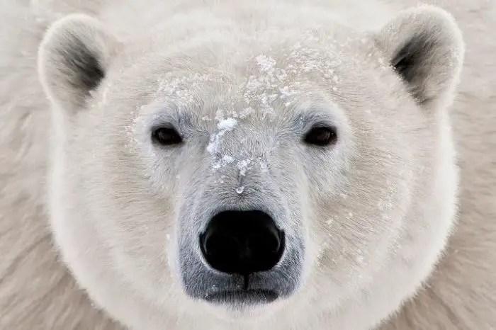 How Can We Save Polar Bears? – Help Save Polar Bears