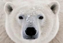how can we save polar bears?