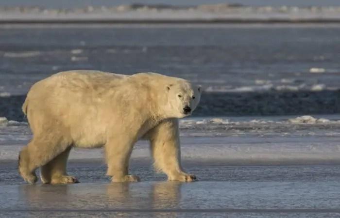 polar bear scientific name