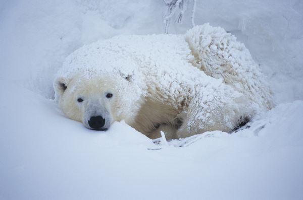 how do polar bears adapt to the cold