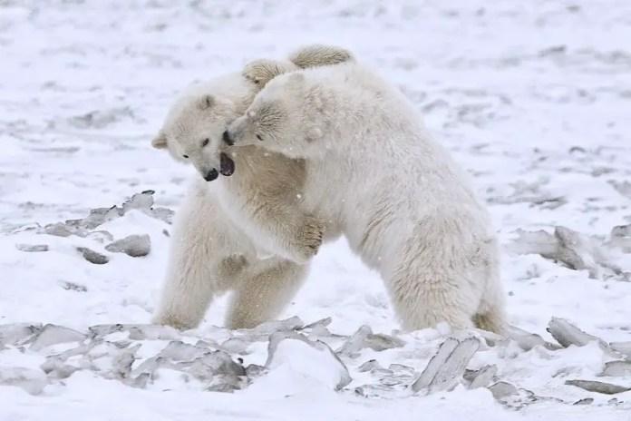 what does a polar bear sound like