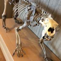Polar Bear Digestive System | Gastrointestinal System