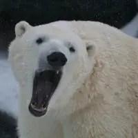 do polar bears have sharp teeth