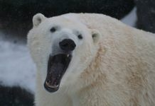 do polar bears have sharp teeth