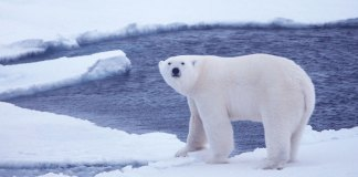 polar bear genetics
