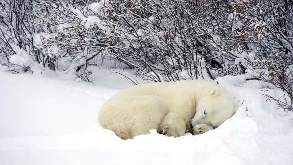 Do Polar Bears Hibernate? – Polar Bear Hibernation