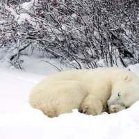 Do Polar Bears Hibernate? - Polar Bear Hibernation