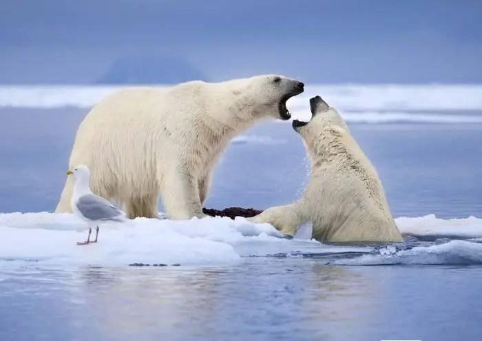 how much seals do polar bears eat