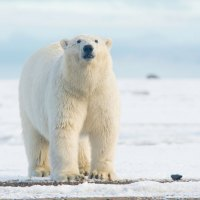 How Long Do Polar Bears Live? | Polar Bear Lifespan