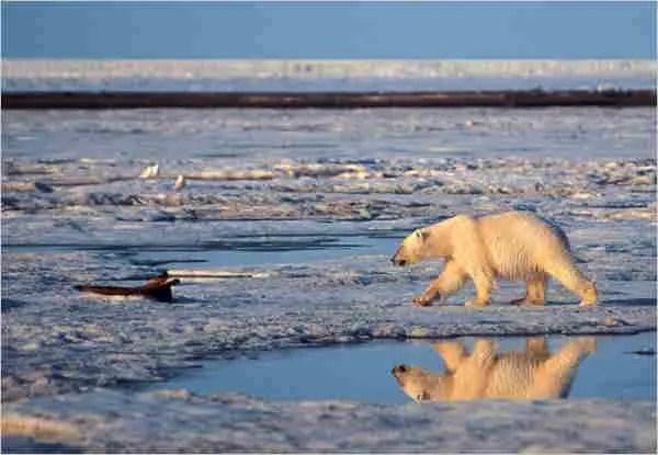 What Do Polar Bears Eat?   Ultimate Guide 2021