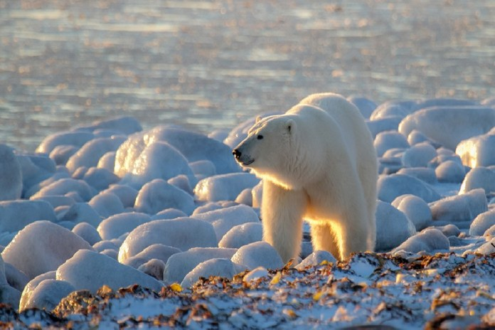 do polar bears migrate?